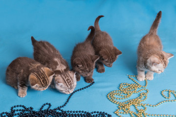 Five British kittens on blue violet background.