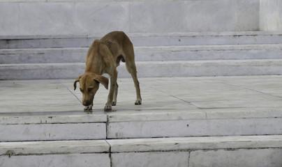 dünner Hund in Havanna, Kuba