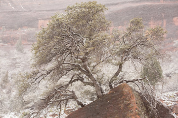 A small scrub oak tree growing from the base of a sandstone boulder while winter snow blows past.