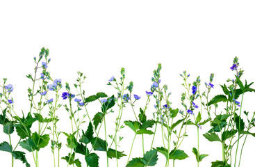 Isolated small purple flowers. The name of the flower is Veronica chamaedrys.