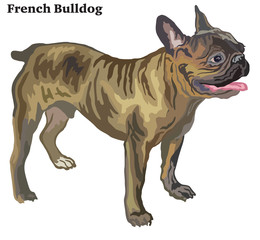 Colored decorative standing portrait of French Bulldog vector illustration