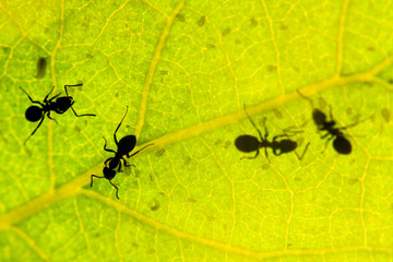 black ant under green leaves milking aphids