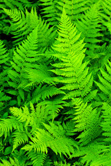 green texture of fern leaves