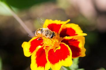 A fluffy hornet conquering a flower