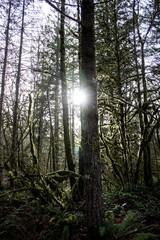 Forest at Sunset Falls, WA