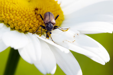 Long-billed beetle on white camomile