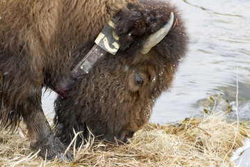 Snow covered head of grazing bison with collar by river in snow in Yellowstone National Park in winter