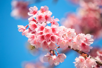 pink cherry blossom under the blue sky.