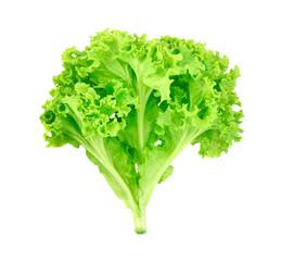 fresh green oak lettuce on white background
