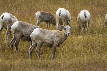 herd of bighorn sheep ewes grazing in grassy meadow, Wyoming