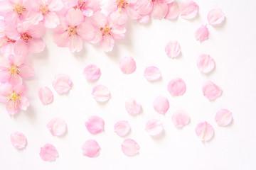 桜の花 白背景