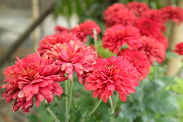 chrysanthemum  in Red