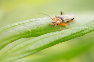 Red insect is sitting on the leaf,macro