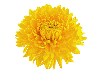 Yellow chrysanthemum flower head