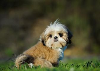Shih Tzu puppy dog sitting in grass field