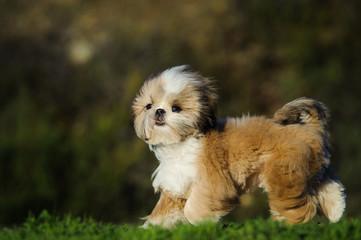 Shih Tzu puppy dog walking through field