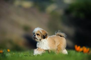 Shih Tzu dog walking through field with orange flowers