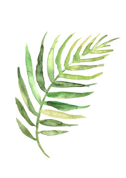 Watercolor drawing of a leaf of a palm tree. Green tropical palm leaf. Hand drawn illustratio. Drawing on white isolated background. Watercolor logo, element.