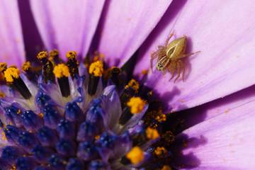 Spider on Cape Daisy Osteospermum flower