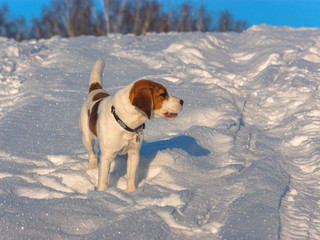 The Beagle walking in the snow. puppy in nature. hunting dog walk through the field. thoroughbred puppy Beagle walks in the woods. dog breed with large ears and red face