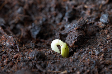 Sprouts, sowing and disembarkation in grunt