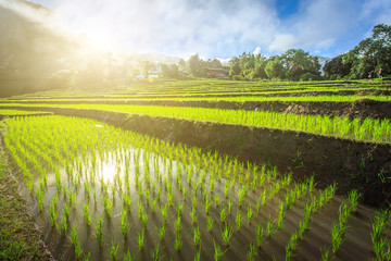 green terraced rice field with fog in the morning at Chiangmai Thailand
