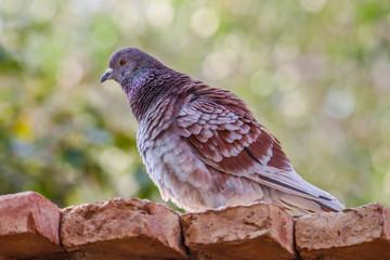 beautiful pigeon bird