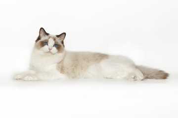 Fluffy beautiful white cat of a Neva Masquerade with blue eyes posing lying on a white background. Cat isolated on white background.