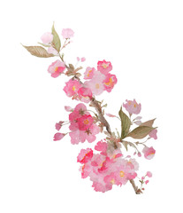 Delicate sakura blossoms watercolor illustration isolated on white background