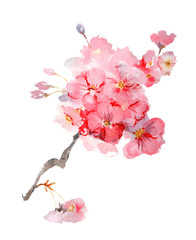 Lush blooming sakura branch watercolor illustration isolated on white background