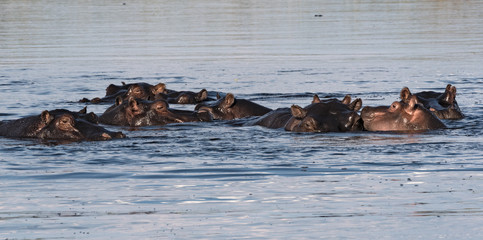 Group of hippos in the Linyanti river, Namibia