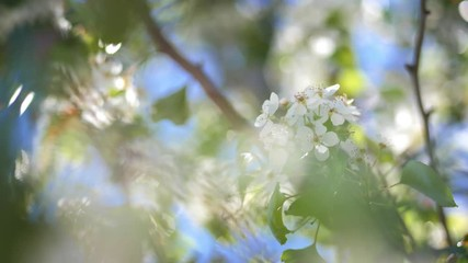Wall Mural - Closeup on flowering bloom of apple tree blossoming flowers in garden. Shallow DOF, 4K UHD.