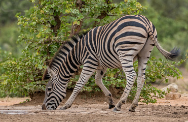 a lone zebra drinking water at a watering hole
