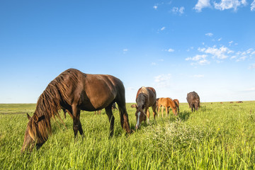 A herd of wild horses shown on Water island in atmospheric Rostov state reserve