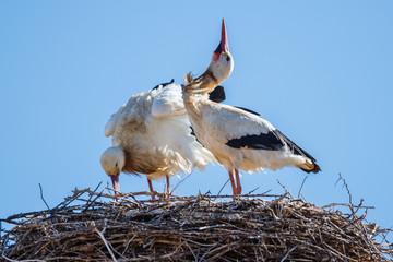 Crotoreo. Pareja de cigüeñas blancas en el nido. Ciconia ciconia.