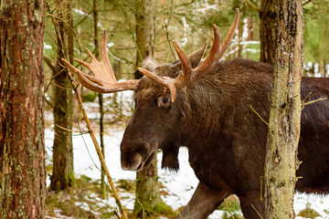 Moose (Alces alces) bull portrait in forest landscape.