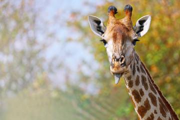 Giraffe streckt die Zunge heraus, Südafrika