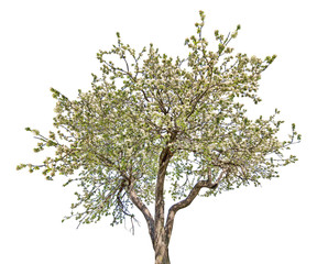 isolated blooming large old apple tree