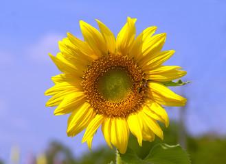 sunflower, flower, nature, yellow, summer, sky, field, sun, plant, blue, agriculture, sunflowers, green, bright, beauty, flora, blossom, leaf, petal, garden, floral, plants, flowers, color, closeup,be