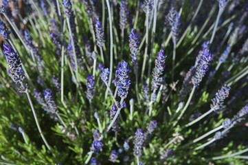 Horizontal close-up shot of beautiful lavender flowers in a sunny summer morning