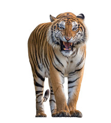Fotobehang Tijger Tiger Roaring isolated on white background.
