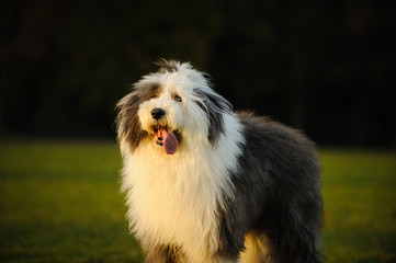 Old English Sheepdog outdoor portrait in grass