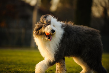 Old English Sheepdog outdoor portrait walking in park with ball