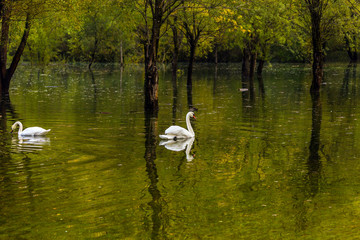 The white swans in Spring Flood