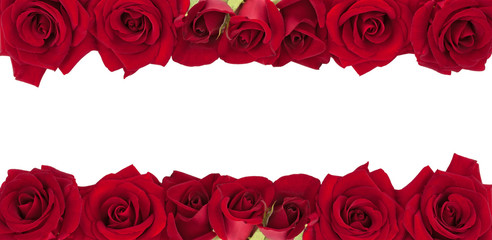 Panoramic collection of fresh red roses isolated on white background.