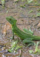 Green basilisks lizard taken in Costa Rica jungle