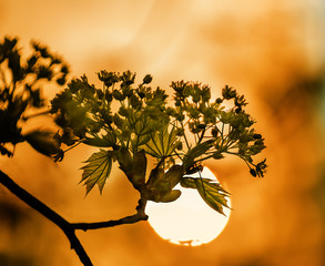 Flowering maple tree in early spring. Branch on the background of the sun disk branch at sunset. A gentle spring look.