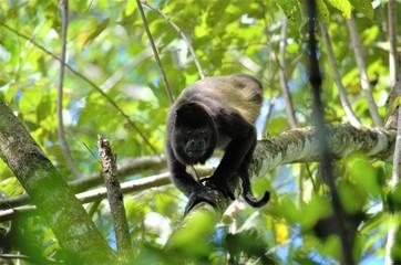 Monkey of Costa Rica