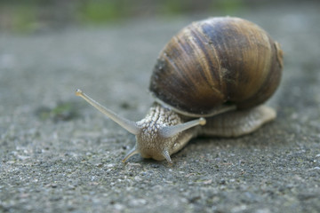 grape snail on the road