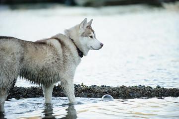 Siberian Husky dog outdoor portrait standing in water